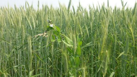 Wheat field diversified with peas